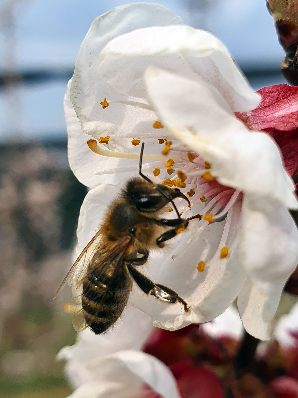 Obstbaum mit Blüten und Biene, Aufnahme im Freien bei Sonnenschein