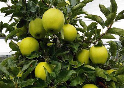 Unsere Produkte: Steirische Äpfel, frische Äpfel, Apfelbaum vor der Ernte, Aufnahme im Freien