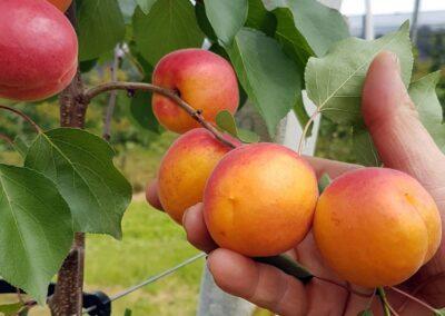 Marillenbaum mit Marillen vor der Ernte, Produkte: steirische Marillen, vor der Ernte