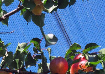 Foto von Marillen Baum, Marillen mit Marillenbaum vor der Ernte, Aufnahme im Freien