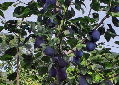 frische Zwetschken am Zwetschkenbaum vor der Ernte, Aufnahme bei Sonnenschein im Freien