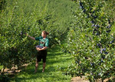 Zwetschkenernte bei Obstbau Edelmann, Alex Edelmann, Aufnahme bei Sonnenschein im Freien